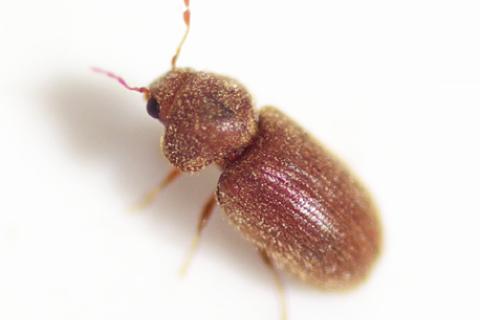Anobiidae