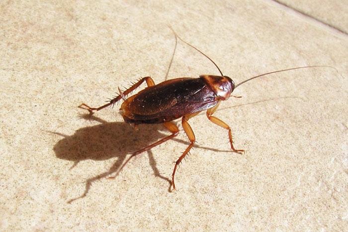 Blatte e scarafaggi