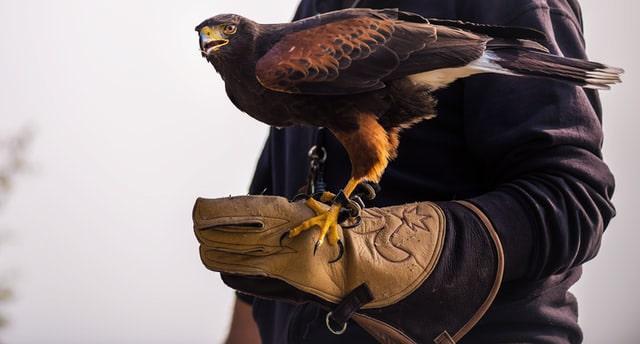 La falconeria per l'allontanamento volatili